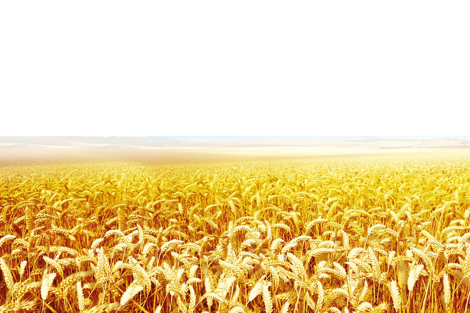 Wheat clipart wheat crop. Clip art transprent png