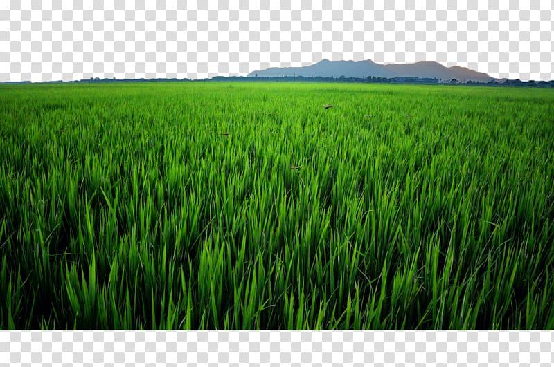 Green field paddy oryza. Grass clipart crop