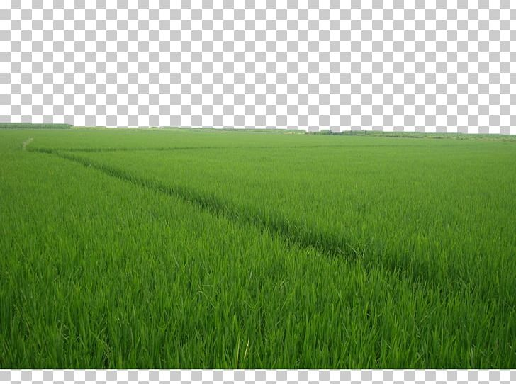 Grassland grasses lawn energy. Clipart grass crop