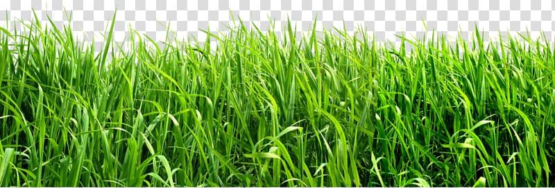 Green grasses background transparent. Clipart grass fodder