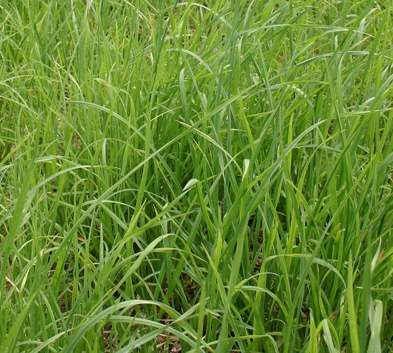 First haymate xl orchardgrass. Clipart grass forage