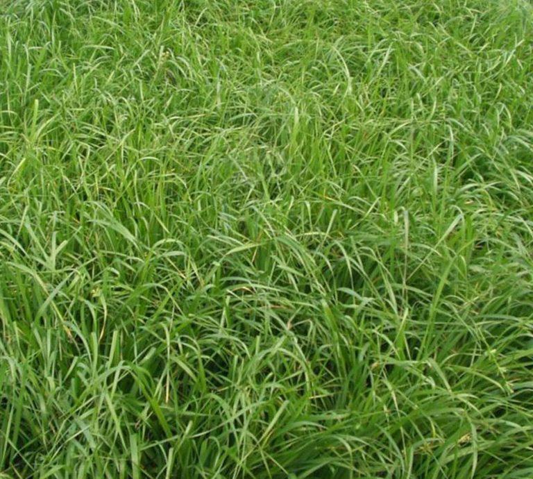 Clipart grass forage. First endo graze xl