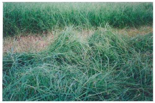 Sungrazer plus bermudagrass blend. Clipart grass forage