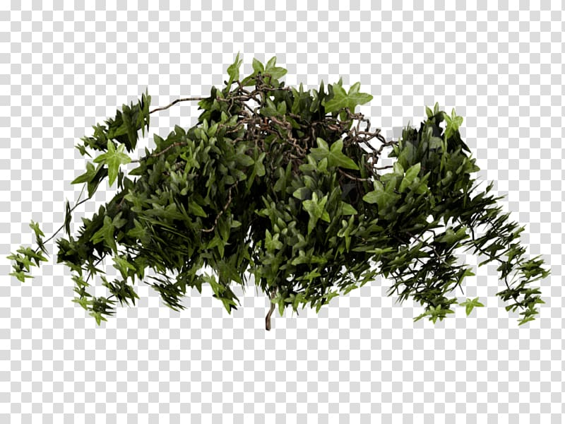 Ivy texture mapping plant. Clipart grass poison