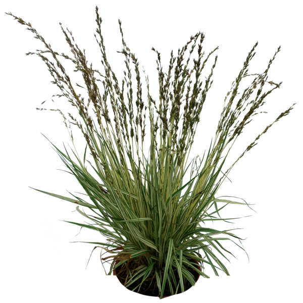 Png by gd on. Clipart grass shrub