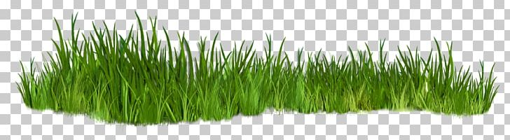 Grasses png chrysopogon zizanioides. Clipart grass shrub
