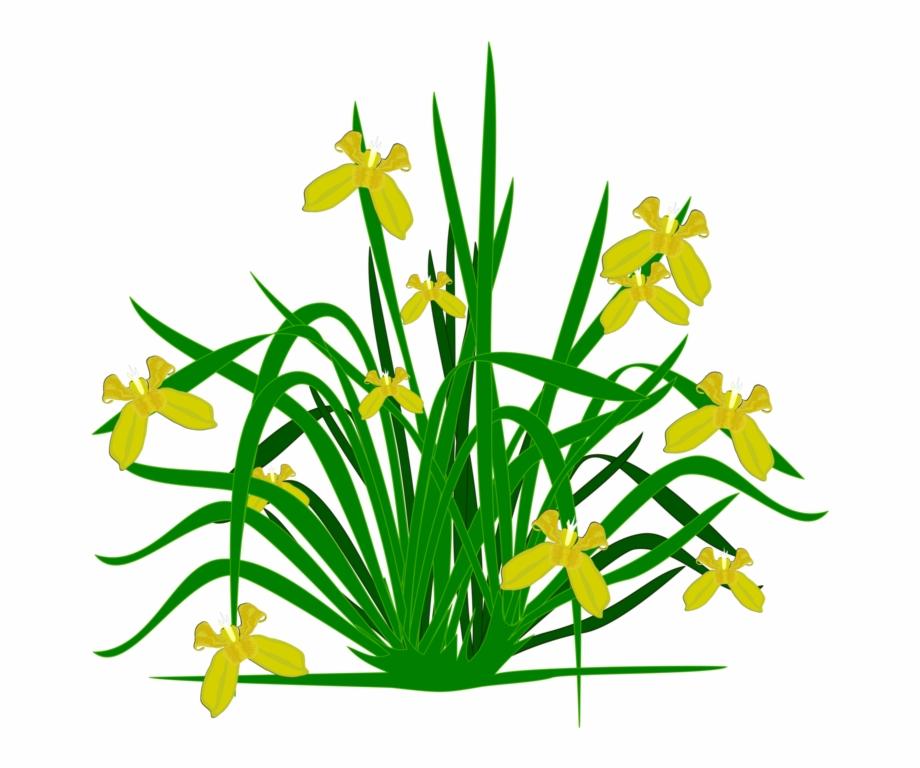 Clipart grass star. Bearded iris flowering plant