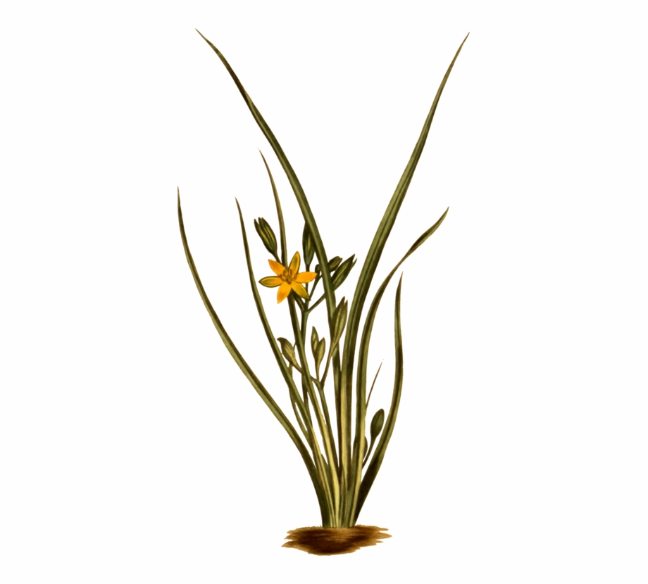 Yellow grasses flowering plant. Clipart grass star