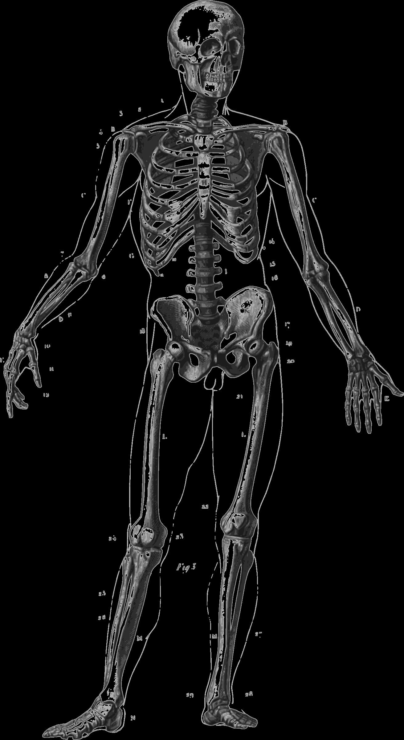 Transparent transparentpng . Skeleton clipart body part