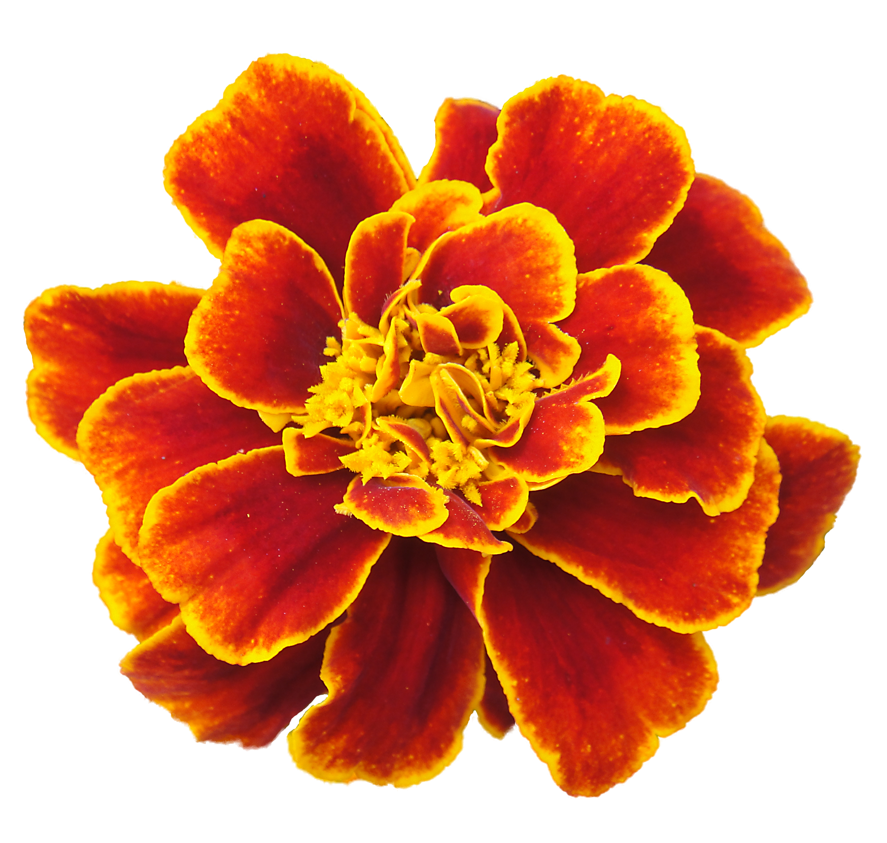 Orange marigold pencil and. Feather clipart flower