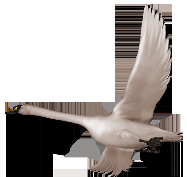 In flight free gallery. Wing clipart swan