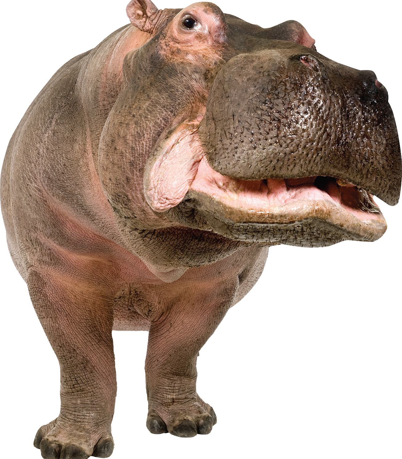 Png images free download. Hippo clipart realistic cartoon
