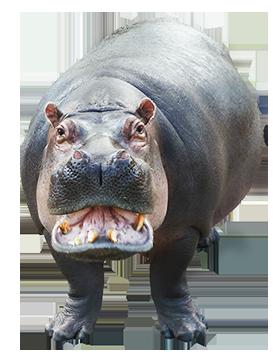 Cartoon . Hippo clipart real