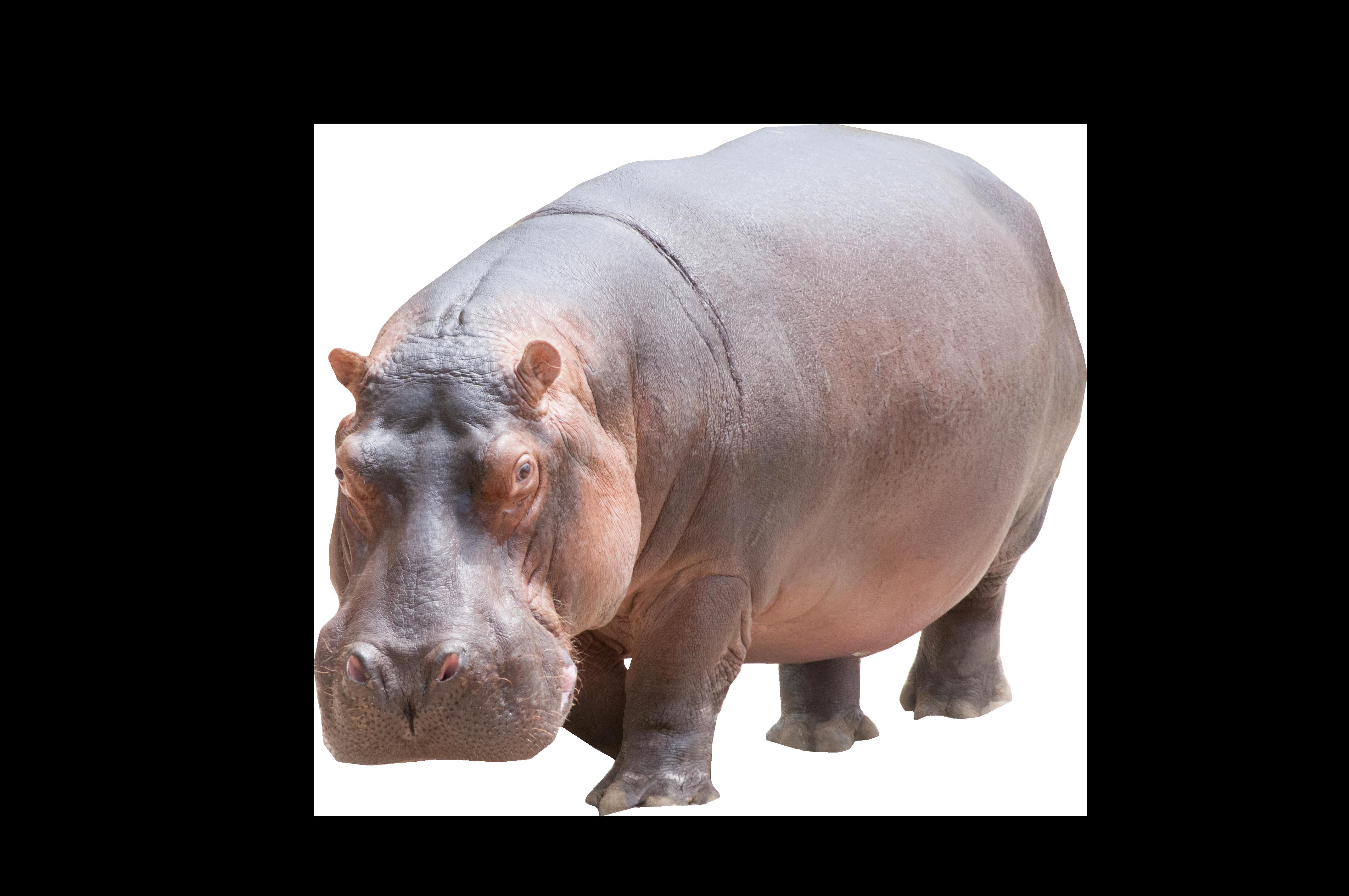 Hippo png image purepng. Hippopotamus clipart transparent background