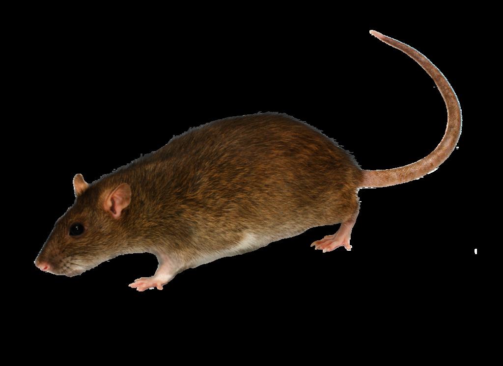 Three isolated stock photo. Clipart rat creepy