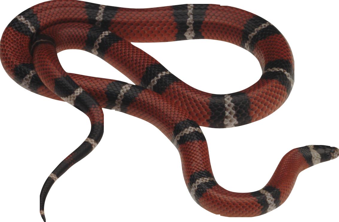 Photo transparentpng . Snake clipart sea snake