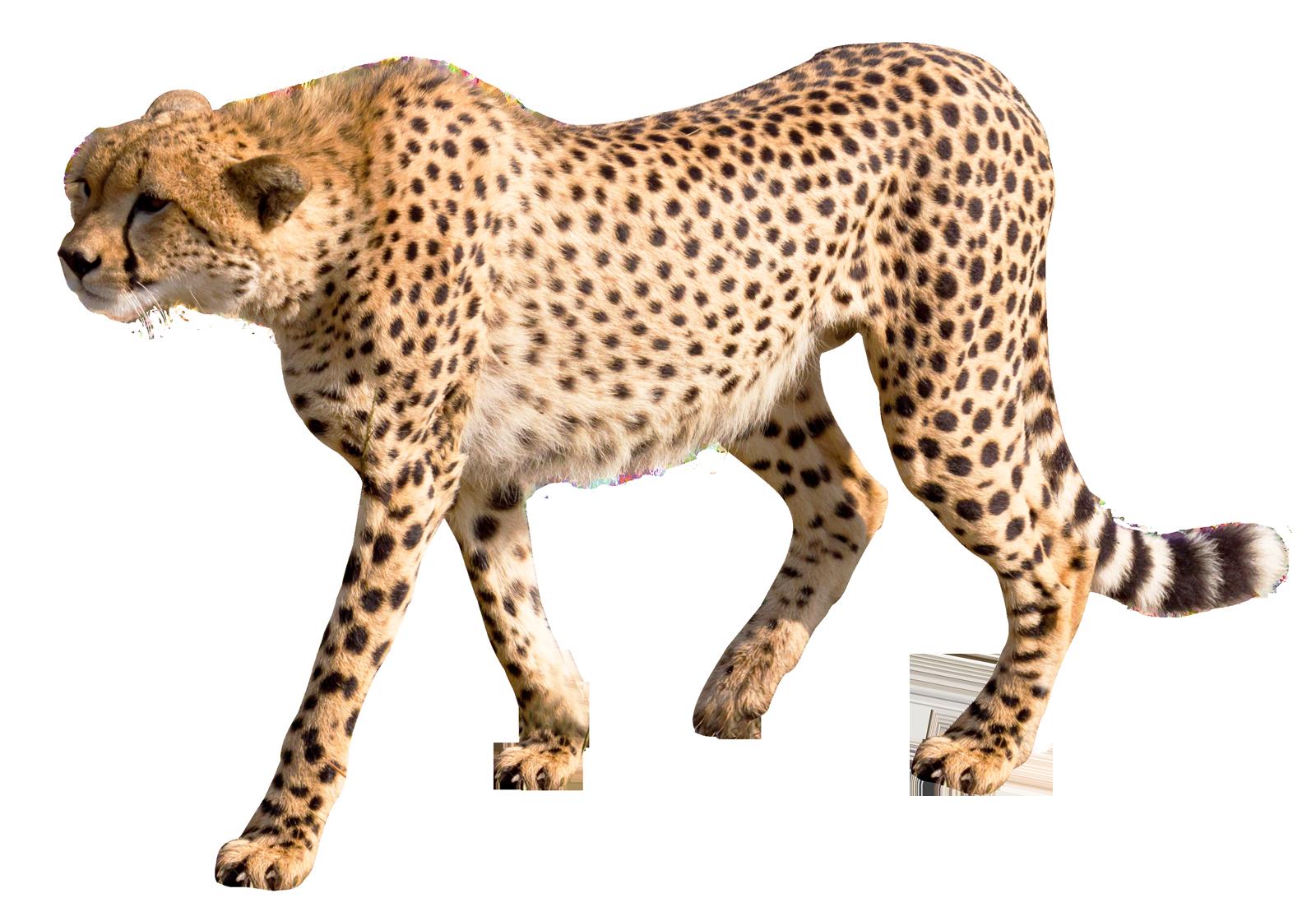 Cheetah png transparent images. Fast clipart leopard
