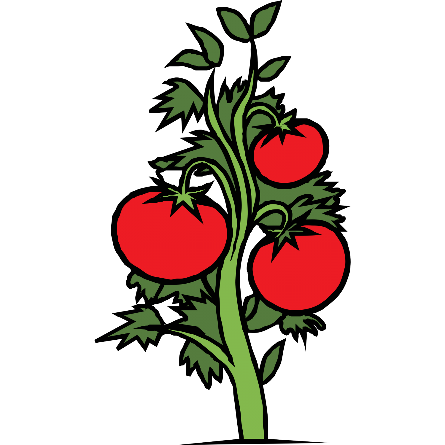 Tomato plant drawing at. Cycle clipart tree growth