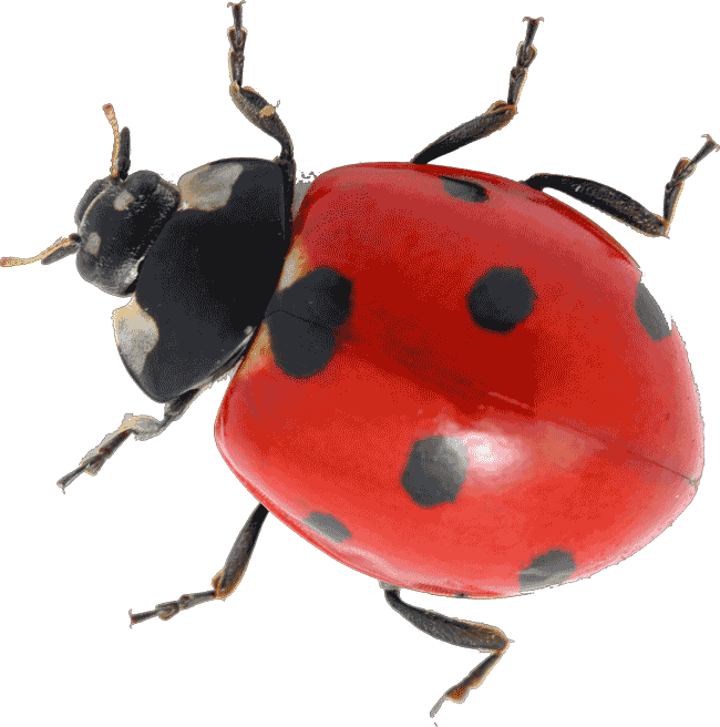 Simplistic ladybug pictures for. Ladybugs clipart cycle