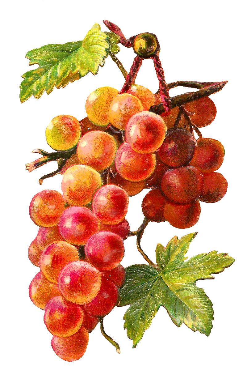 Grape clipart printable. Autumn pinterest flower