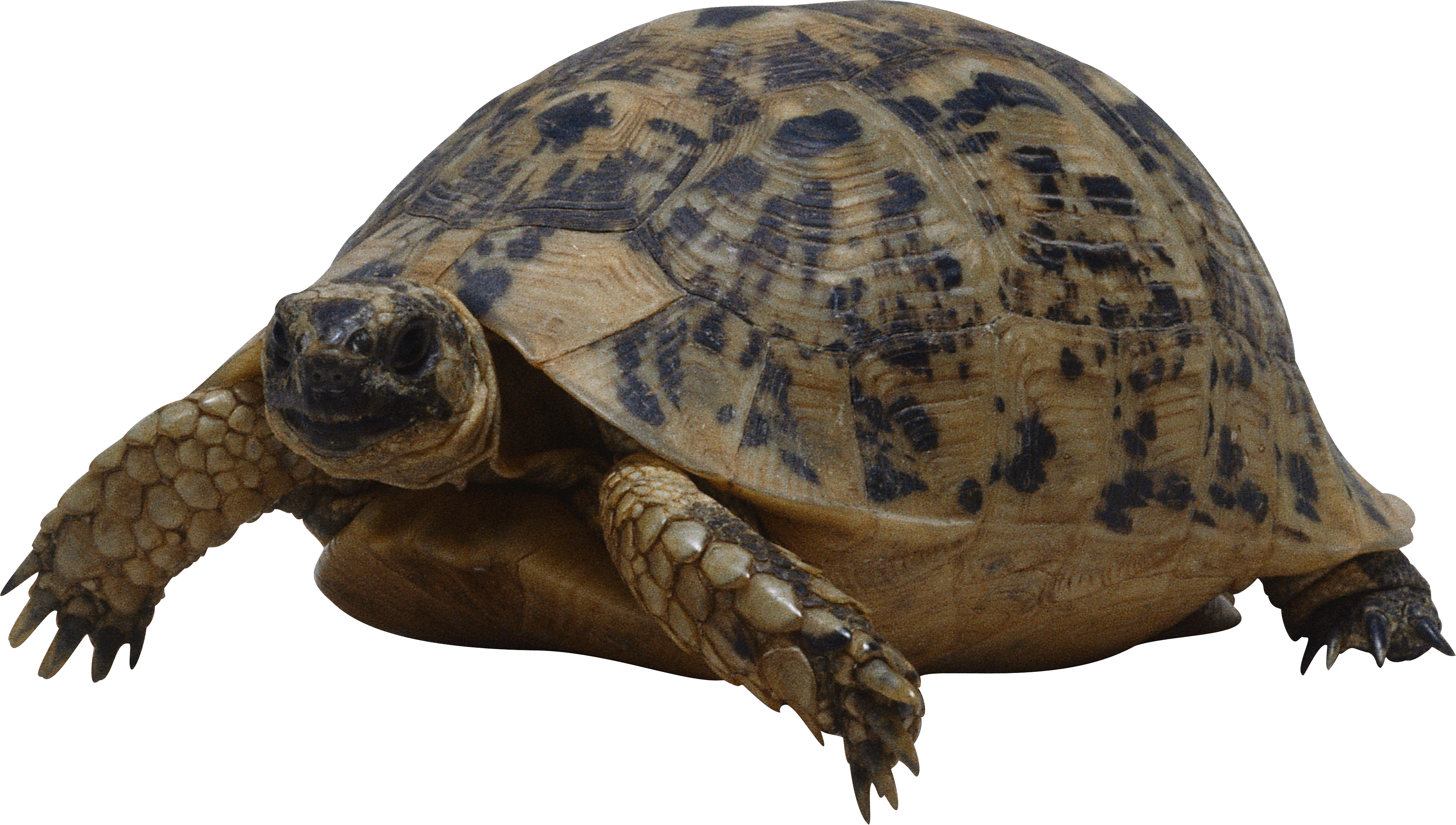 Png images free download. Clipart turtle water