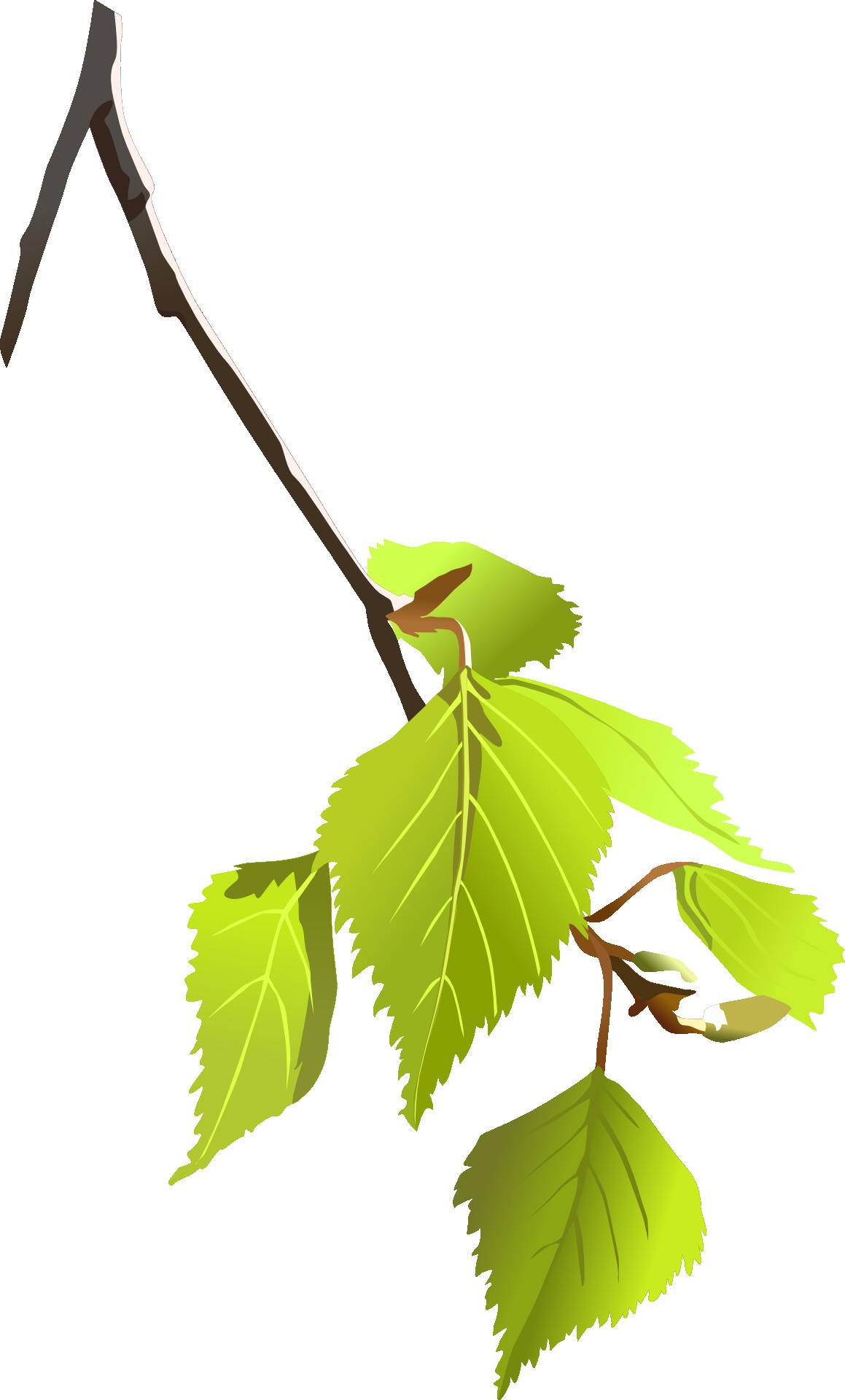 Silver birch betula alleghaniensis. Leaf clipart twig