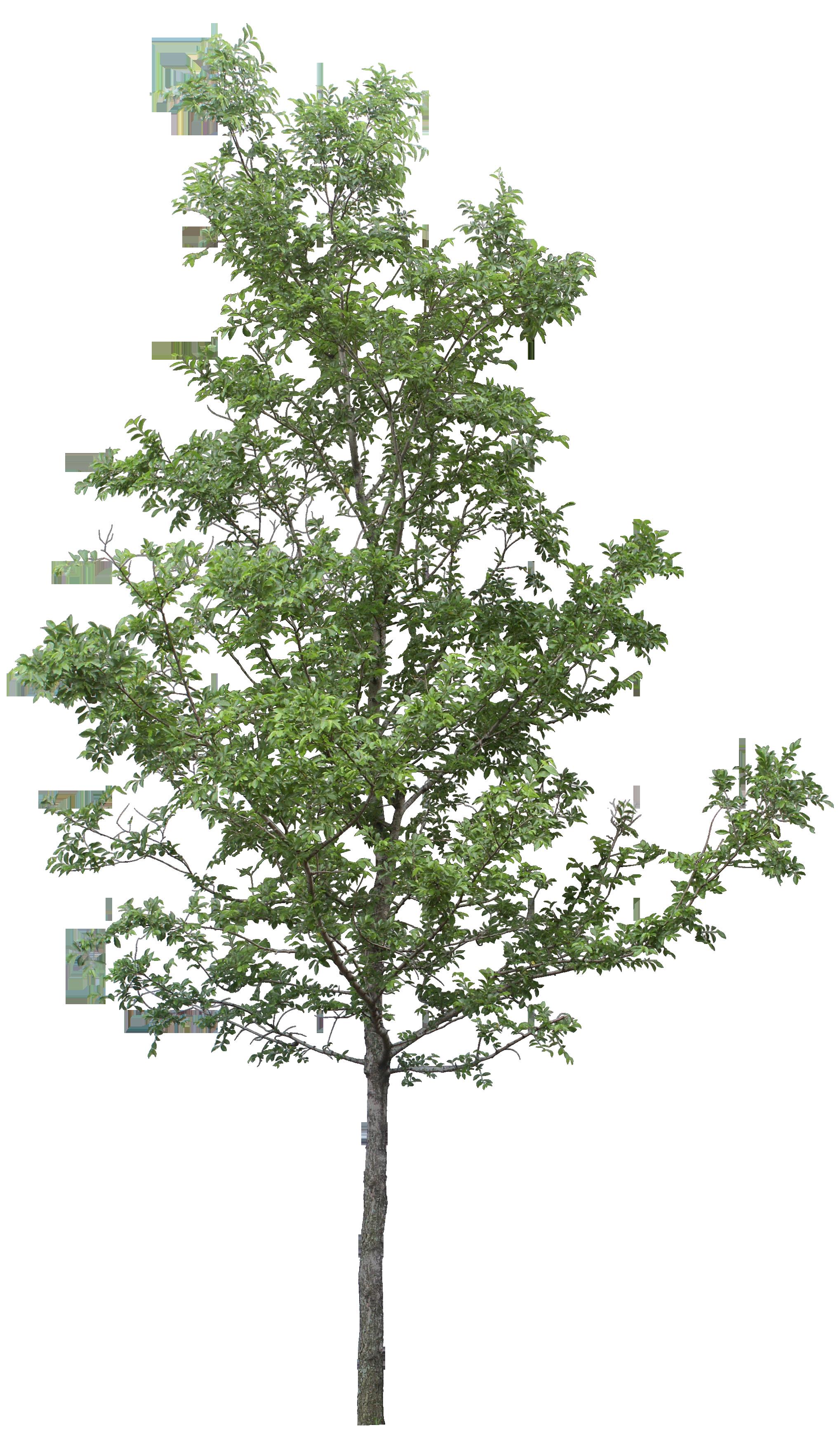 Clip art watercolor transprent. Leaf clipart birch tree