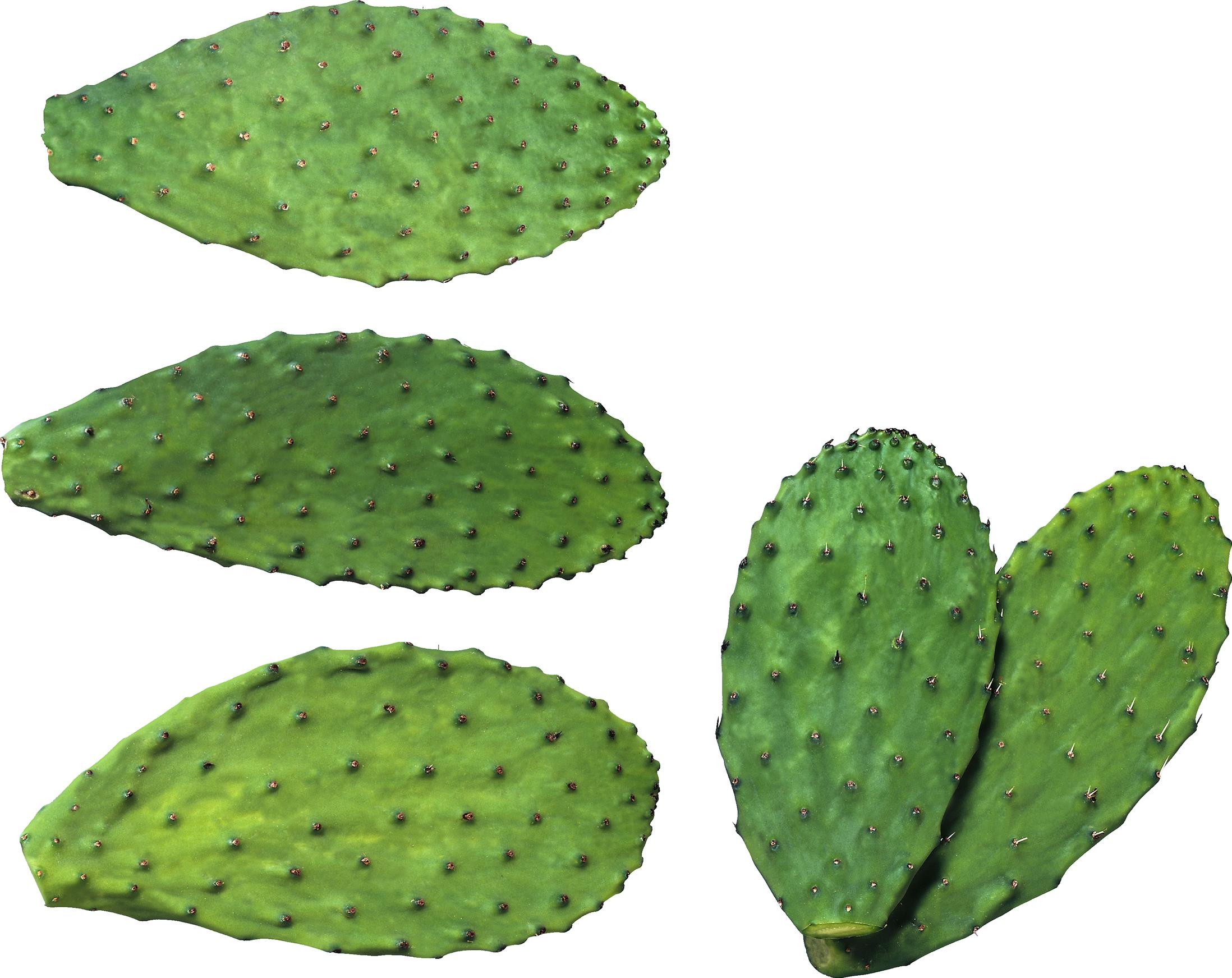 Cactus png image purepng. Desert clipart nopale