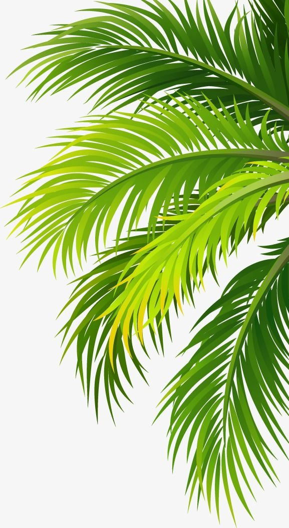 Leaves coco trees png. Coconut clipart branch