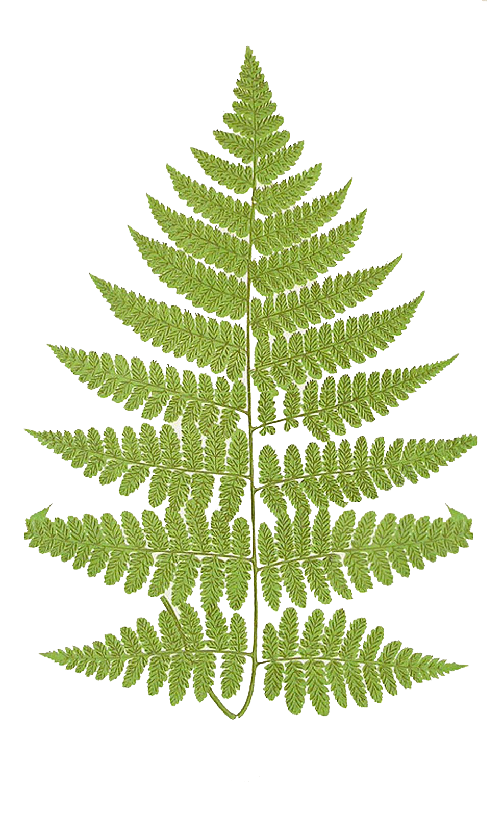 Leaf clipart fern. Leaping frog designs frond
