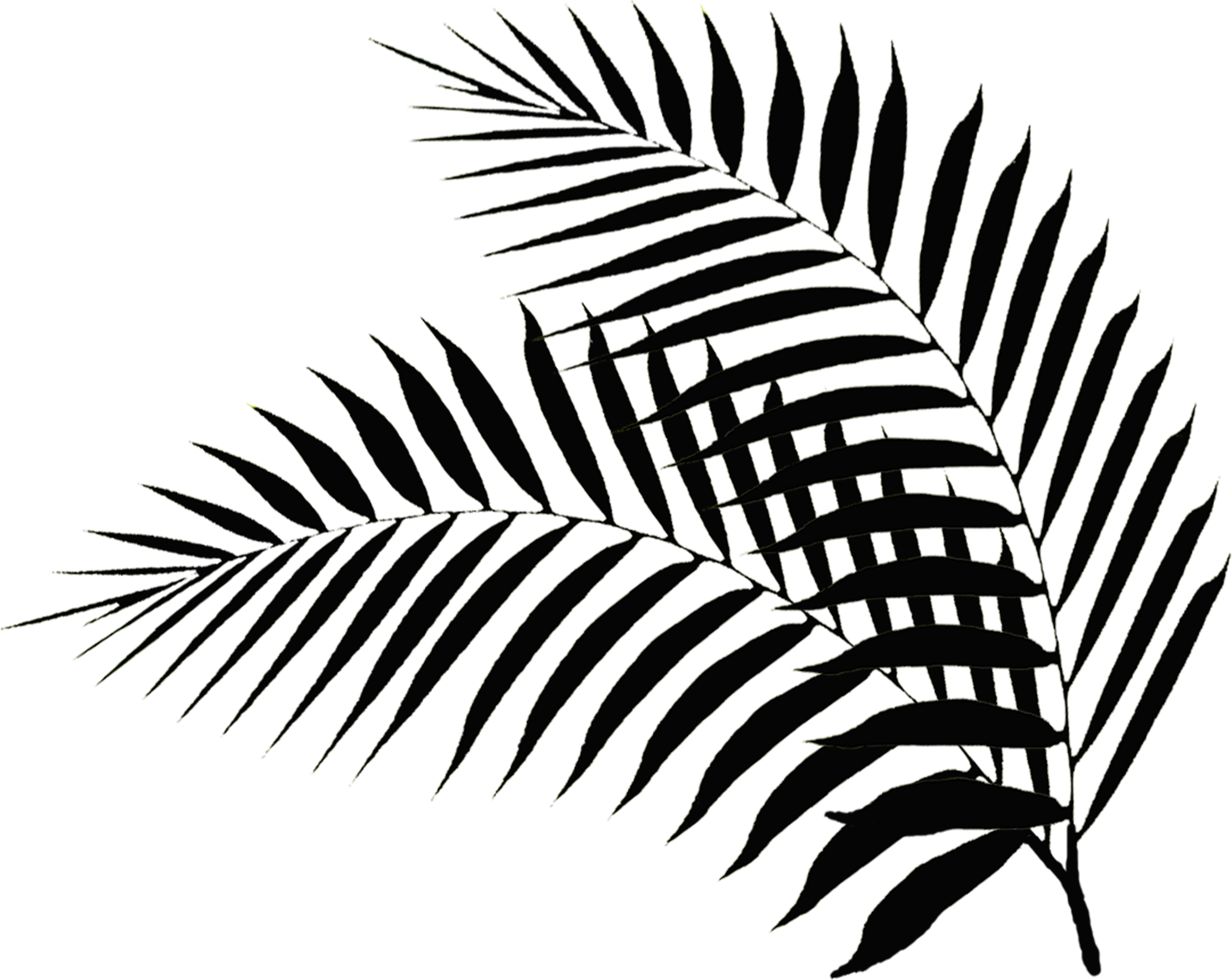 Fern clipart outline. Palm leaf drawing at