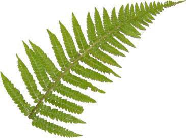 Clipart leaves fern. Free leaf download clip
