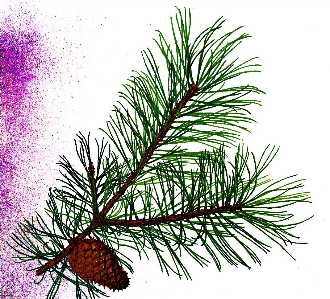 pinecone clipart pine sprig