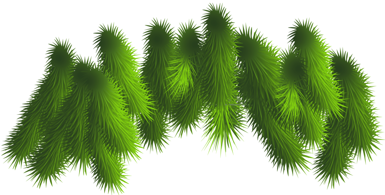 Leaf clipart pine tree. Transparent branches png gallery