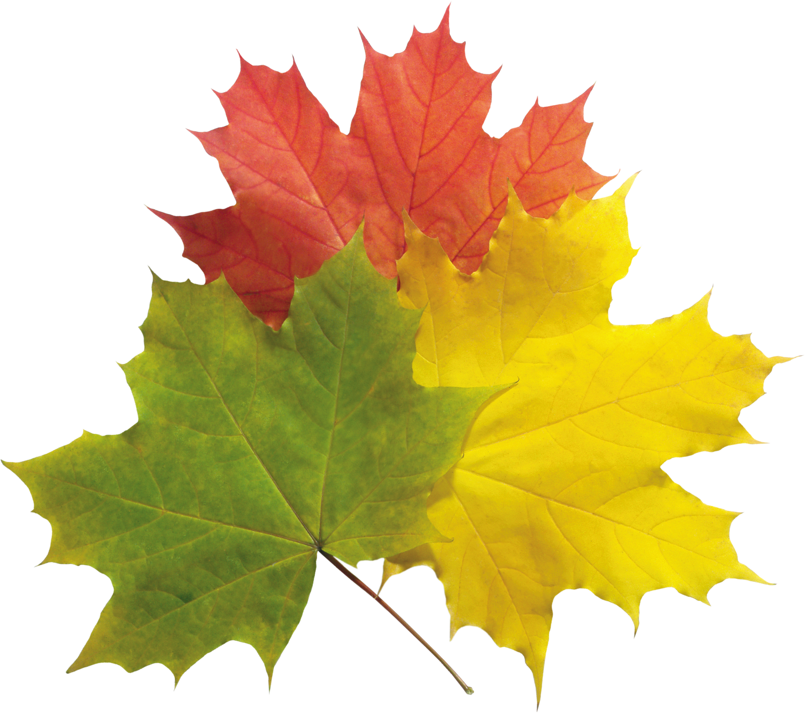 Leaf clipart pipal, Leaf pipal Transparent FREE for ...