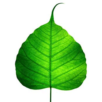 Clipart leaf pipal. Peepal leaves jpg clip