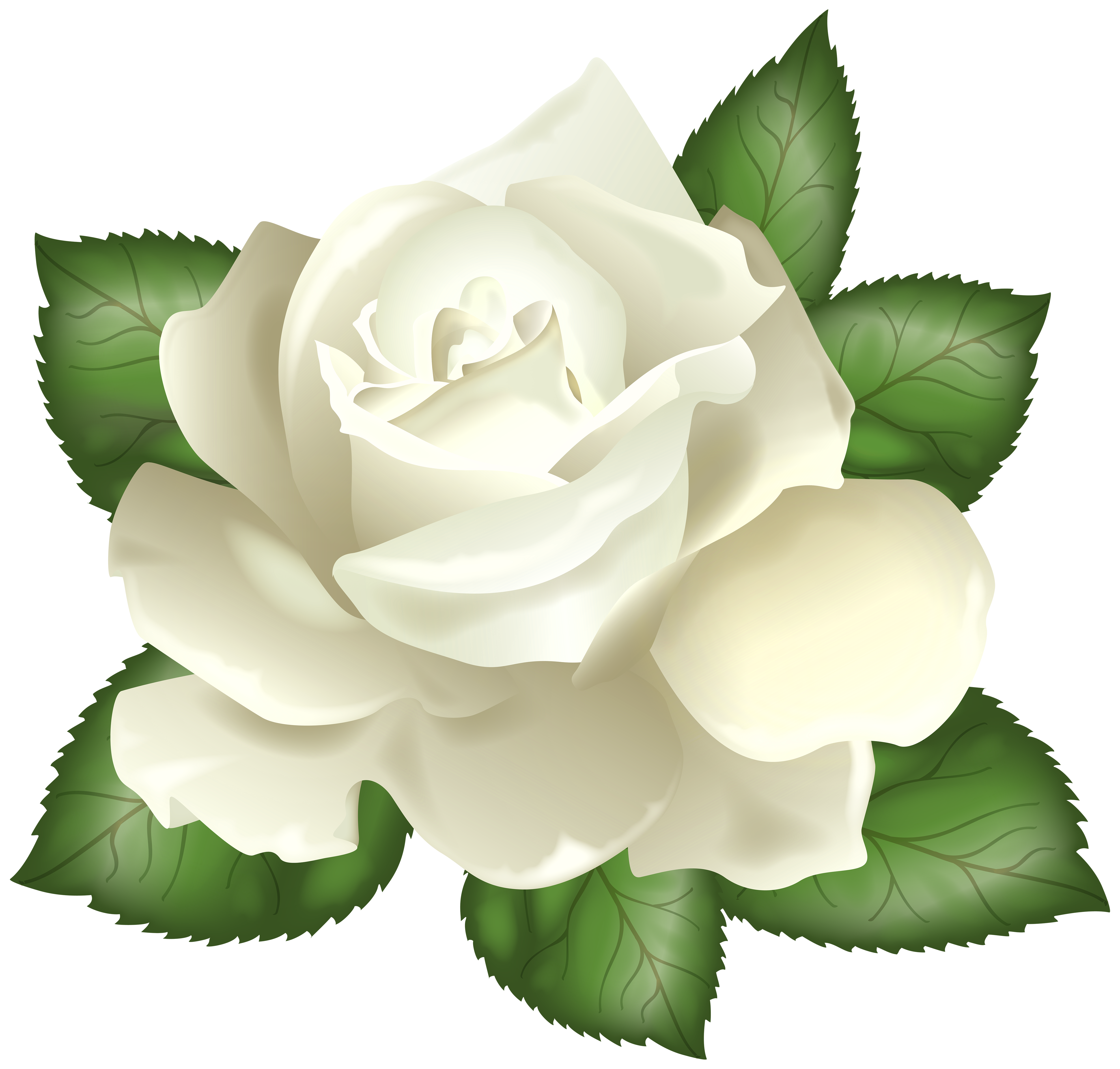 White rose transparent png. Clipart roses cartoon