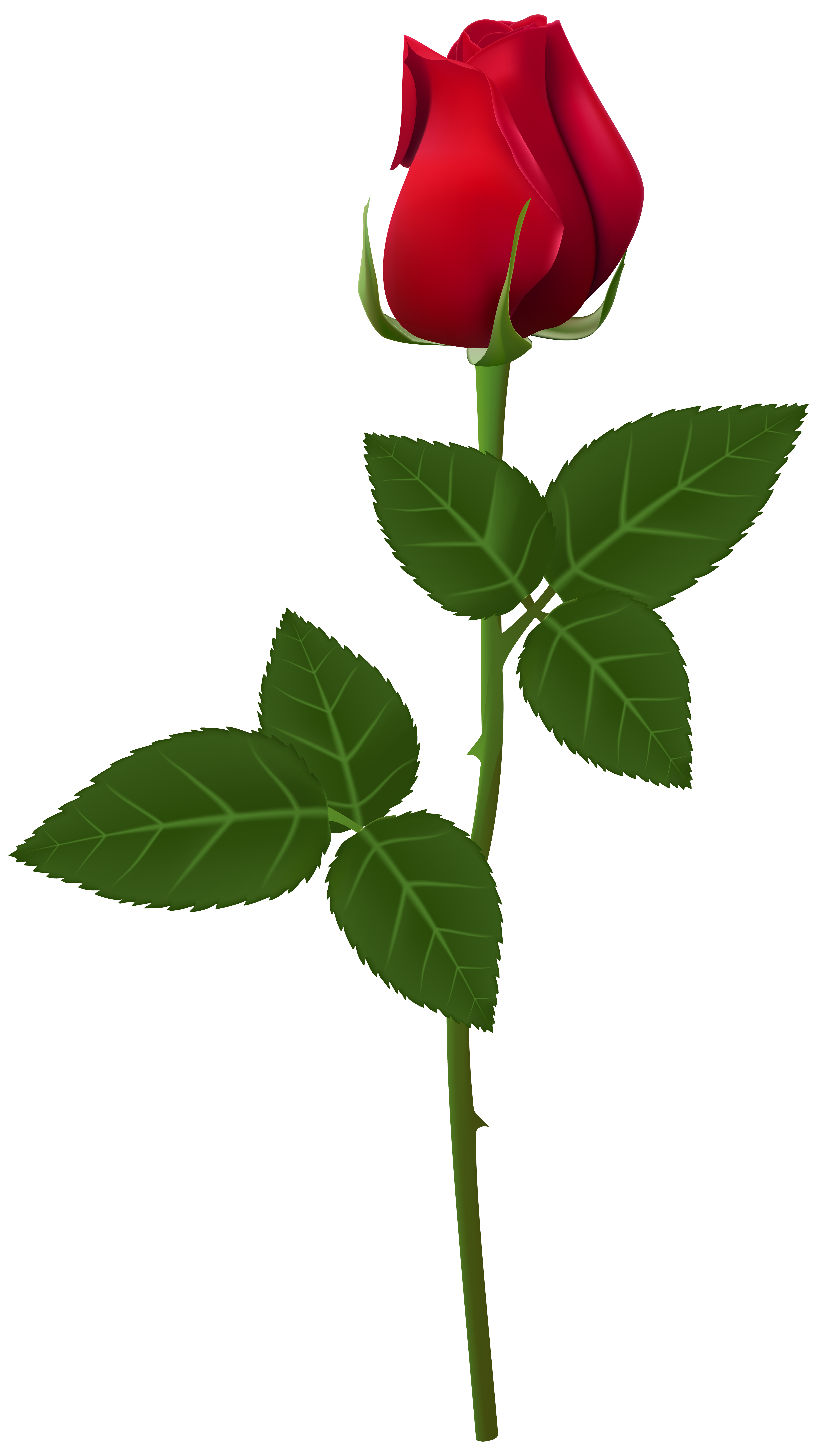 Rose clip art image. Transparent png images roses