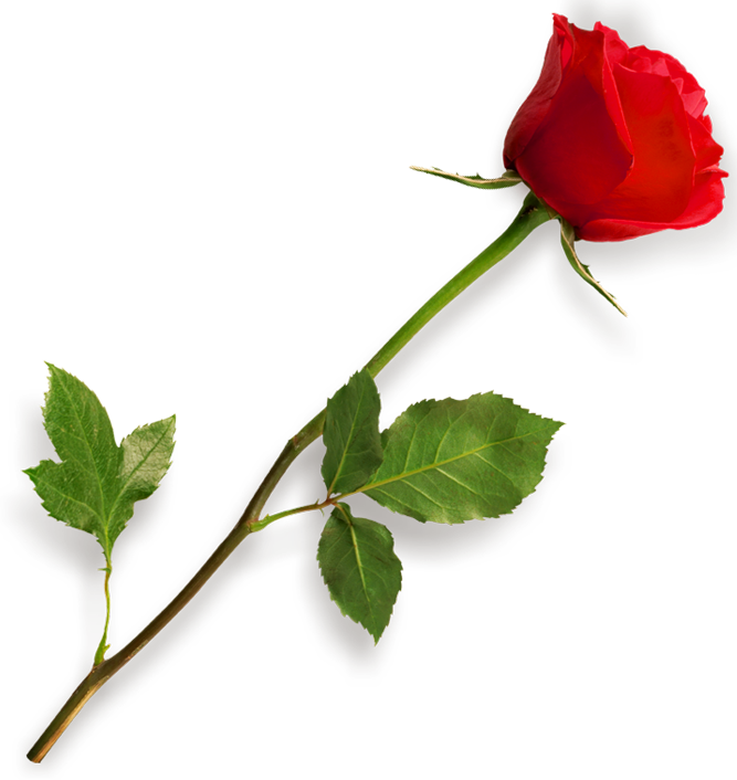 Red rose clipart picture. Single flower png