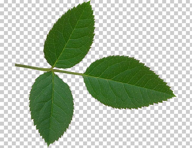 Plant leaves png clip. Rose clipart leaf