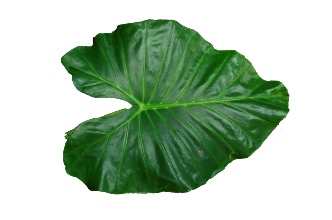 Png no by lovepngs. Leaf clipart shadow