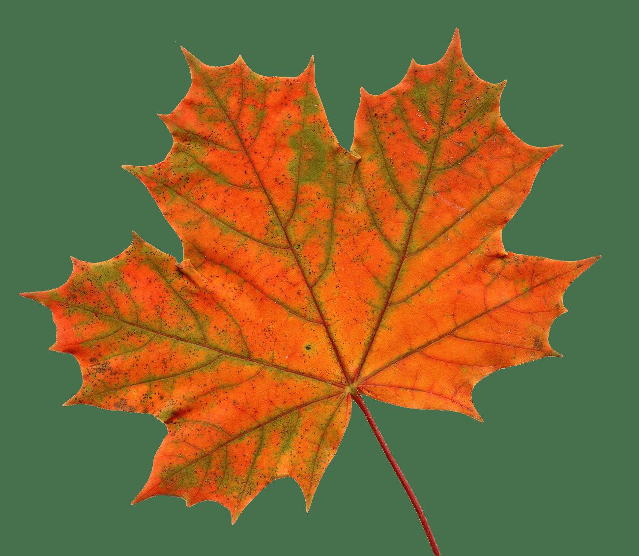 Maple png stickpng large. Leaf clipart transparent background