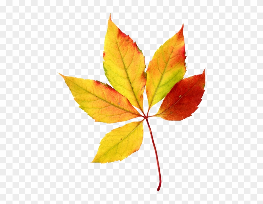 Leaves clipart 5 leave. Maple leaf watercolor fall