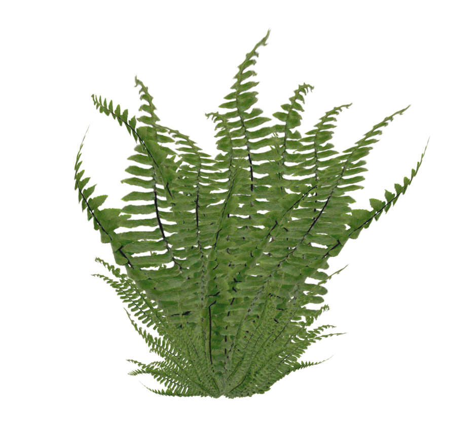 Clipart leaves fern. Ostrich nephrolepis exaltata clip