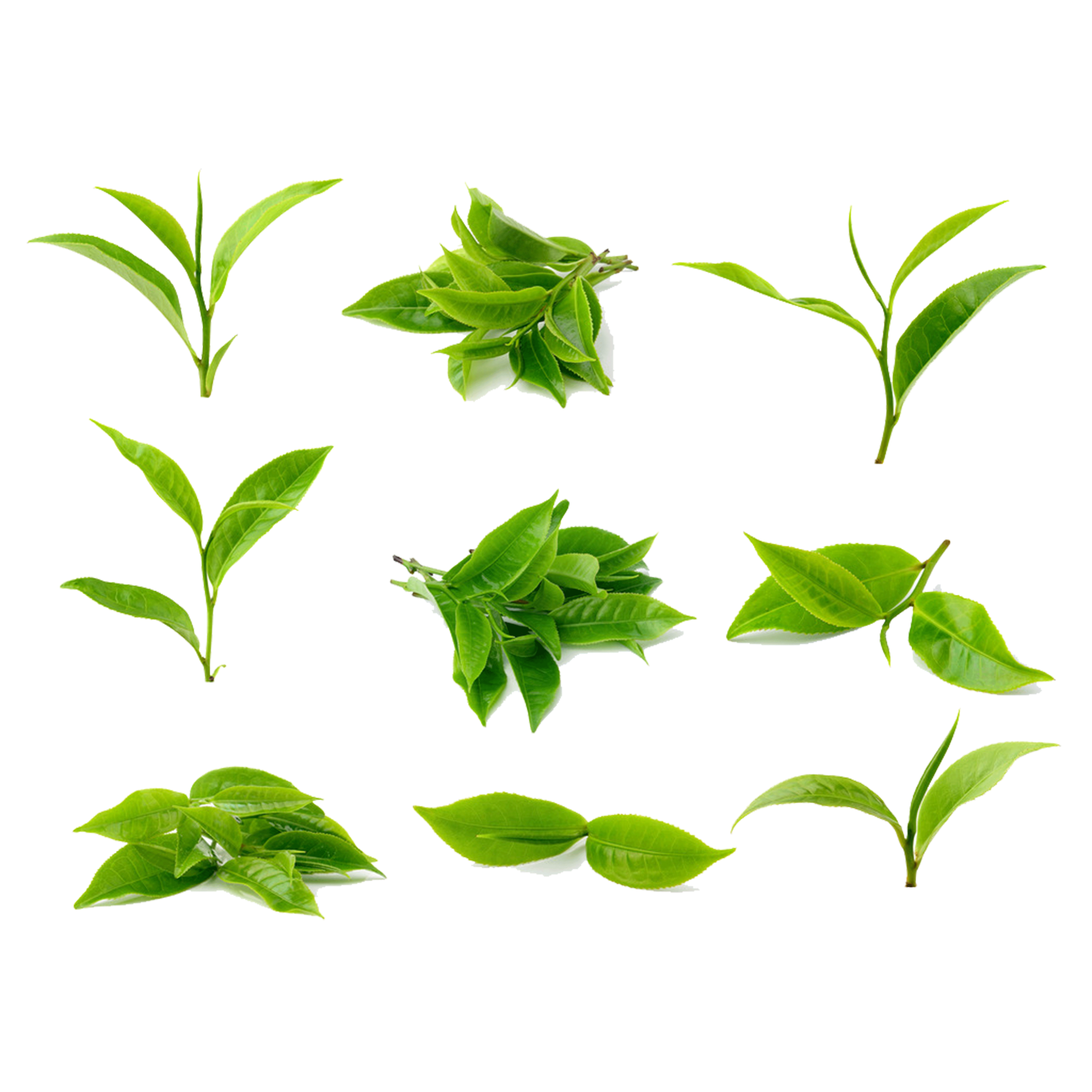 Tea clipart herbal leaf. Green stock photography processing