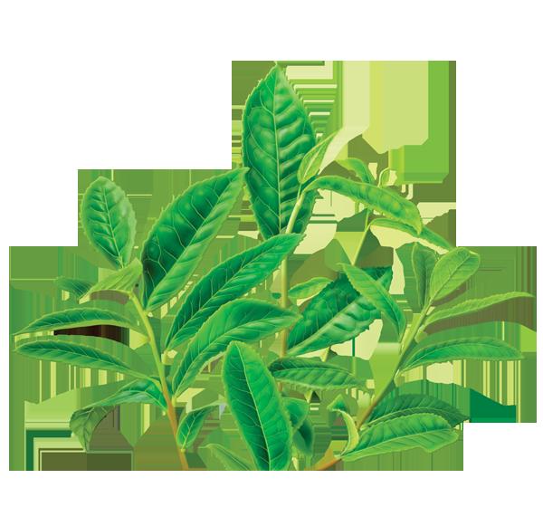 Tea clipart herbal leaf. Green png transparent images