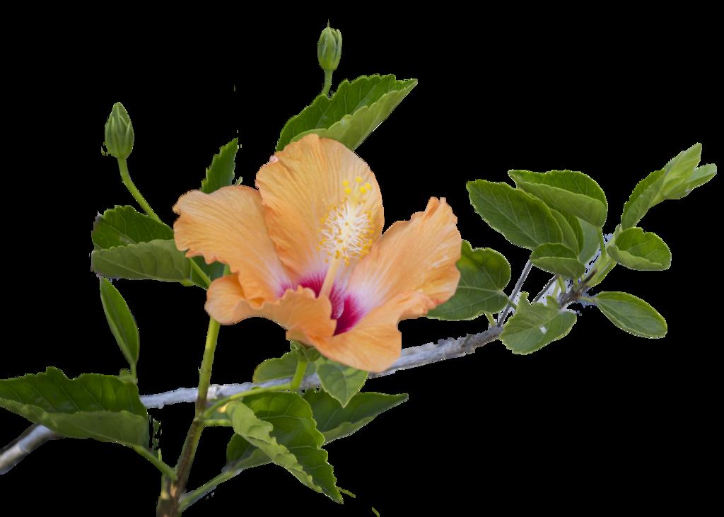 Hibiscus flower png. Leaf transparent images pluspng