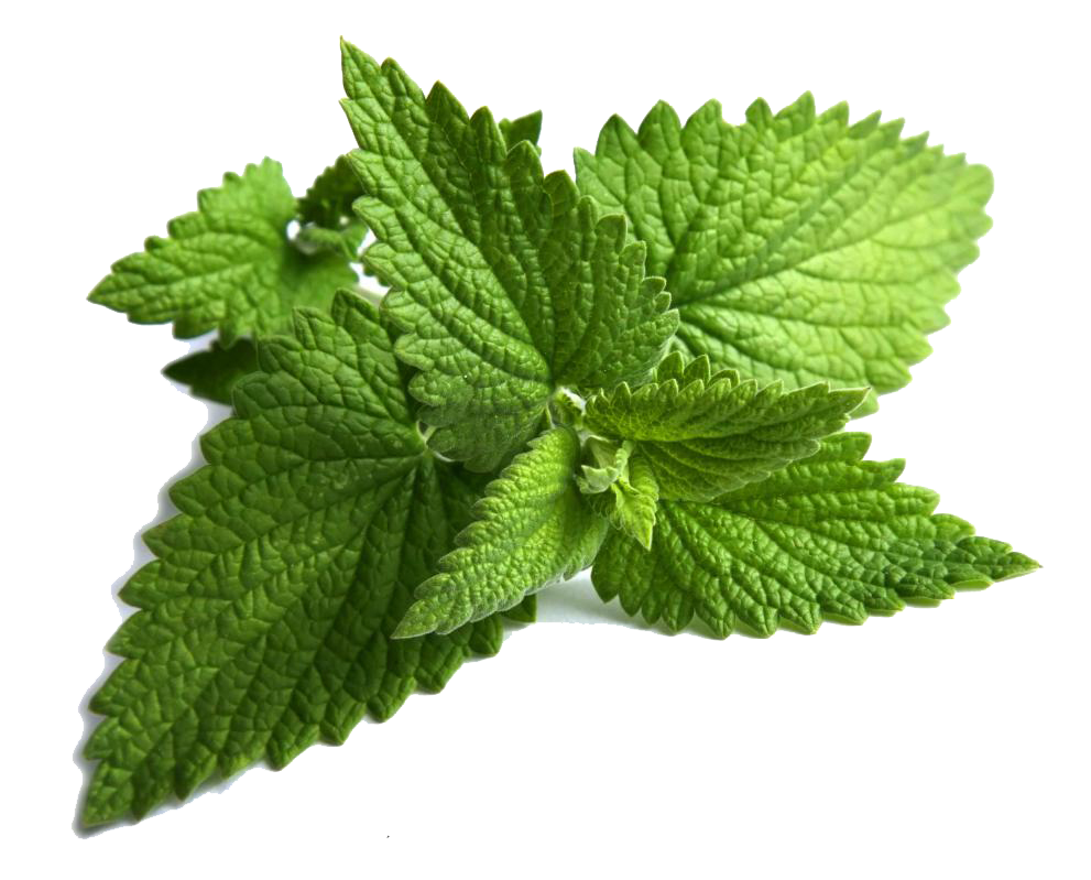 Plant clipart herb.  collection of mint