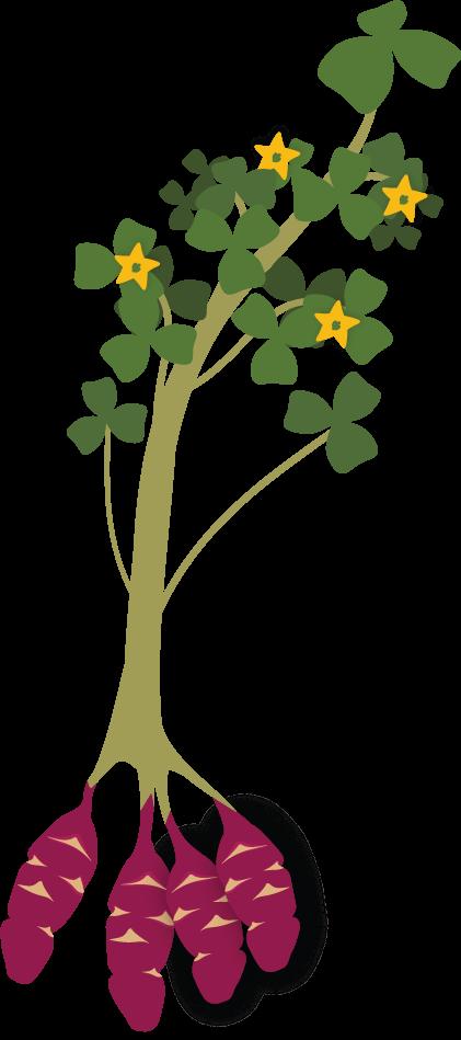 How to grow oca. Planting clipart farm plant