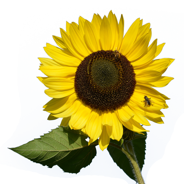 Transparent png pictures free. Leaves clipart sunflower